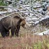 Fall Grizzly Bear