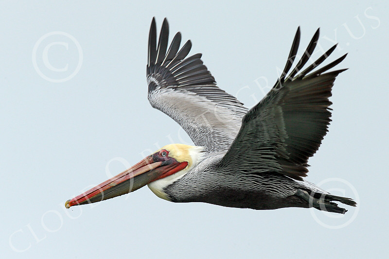 California Brown Pelican 00225 A California Brown Pelican does an upward wing stroke to continue to soar wild bird picture by Peter J Mancus