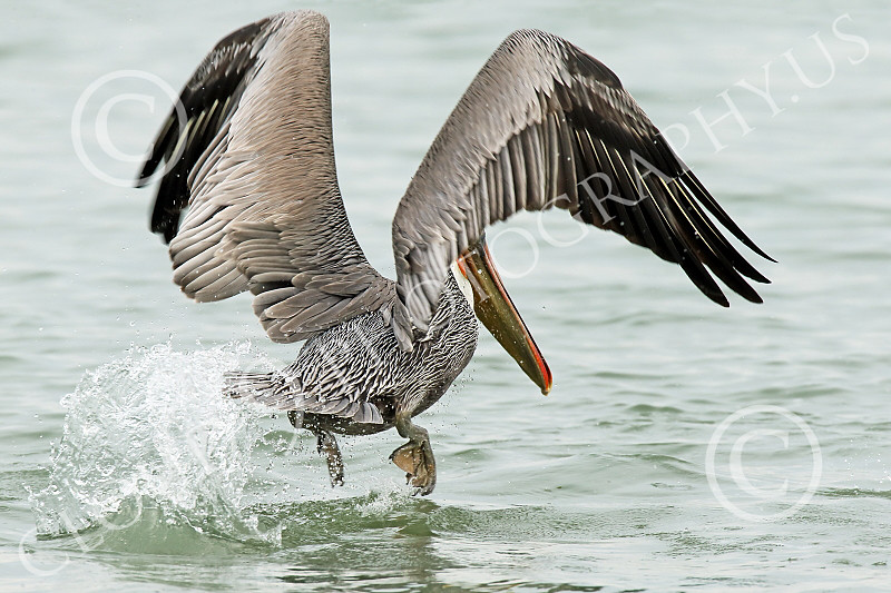 California Brown Pelican 00257 A California Brown Pelican kicks, raises its feet, and flaps its wings in rapid sequence repeatedly to get airborne, wild bird picture by Peter J Mancus
