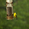 Goldfinch-06102013-100641(f).jpg