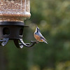 Red Breasted Nuthatch-08062014-183638(f).jpg