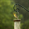 Goldfinch-06102013-100636(f).jpg