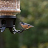 Red Breasted Nuthatch-08062014-183638 (1)(f).jpg