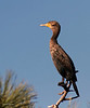 Perched Cormorant