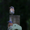 Eastern Bluebirds, Alachua County, Florida
