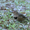 Northern Flicker_
