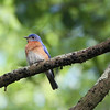 Eastern Bluebird, Alachua County, Florida