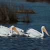 White Pelicans,Merritt Island National Wildlife Refuge