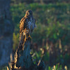 Northern Harrier, Viera Wetlands