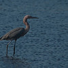 Reddish Egret,Merritt Island National Wildlife Refuge