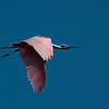 Roseate Spoonbill, Merritt Island National Wildlife Refuge