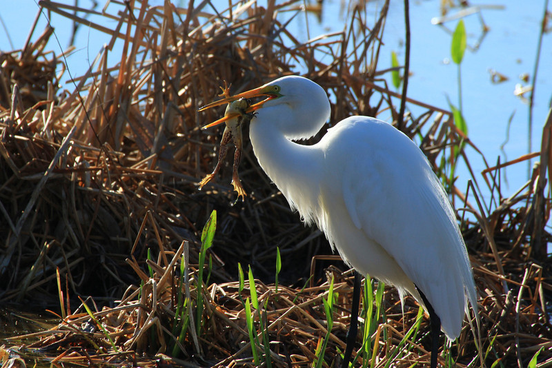Great Egret,Merritt Island National Wildlife Refuge