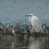 Reddish Egret, White Morph, Ding Darling National Wildlife Refuge, Sanibel Island