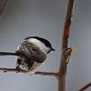 Willow tit - Hömötiainen - Parus montanus