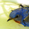 Young bluebird trapped in tree protection tube;  it flew away immediately after being freed.  June 5, 2014.