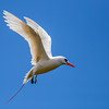 Red-tailed Tropicbird (Hawaii)