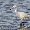 Reddish Egret (white morph)  at Merritt Island NWR