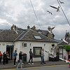 June 18, 2013. Black Headed Gulls in Pitlochry, Scotland.