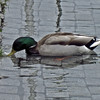 June 24, 2013.  Mallard outside City Hall, Reykjavik, Iceland. pic by jdm