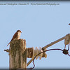 2014-08-13...American kestrel falcon and Mockingbird...Clearwater,Fl.   ©2014 RobertLesterPhotography.com