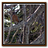 Northern Robin. Hundreds camped out in trees in backyard.