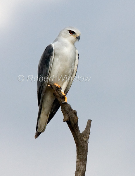Kite, Black-shouldered Kite, Black-winged Kite, Elanus caeruleus, Masai Mara National Reserve, Kenya, Africa, Falconiformes Order, Accipitridae Family