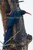 Green Wood-hoopoe, Phoeniculus purpureus, Masai Mara National Reserve, Kenya, Africa