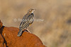 Red-winged Lark, Mirafra hypermetra, Tsavo East National Park, Kenya, Africa