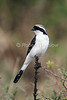Grey-backed Fiscal, Lanius excubitoroides, Masai Mara National Reserve, Kenya, Africa