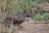 Red-necked Spurfowl or Red-necked Francolin, Pternistis afer or Francolinus afer, Masai Mara, Kenya, Africa