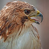 red tailed hawk taken by Jerry Dalrymple