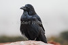 Common Raven, Corvus corax, Canyonlands National Park, USA, North America, Order PASSERIFORMES - Family CORVIDAE