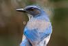 Western Scrub-Jay, Aphelocoma californica, La Plata County, Colorado, USA, North America, Order PASSERIFORMES, Family CORVIDAE