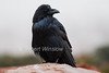 Raven, Corvus corax, Canyonlands National Park, USA, North America, Order PASSERIFORMES - Family CORVIDAE