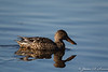 """Great Northern Shoveler Female""-4853"