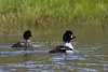 Male and Female, Barrow's Goldeneye, Bucephala islandica, Yellowstone National Park, Wyoming, USA, North America, Order ANSERIFORMES, Family ANATIDAE, Subfamily Anatinae