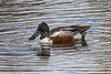 Northern Shoveler, Anas clypeata, Male, Jackson, Wyoming, USA, North America