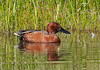 Cinnamon Teal, Anas cyanoptera, Male, Jackson, Wyoming, USA, North America