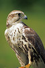 Saker Falcon, Falco cherrug, Controlled Conditions