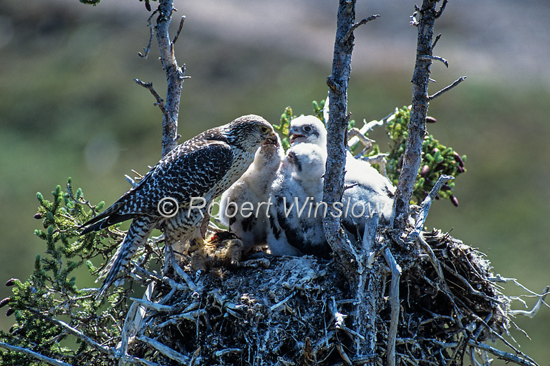 Gyrfalcon, Falco rusticolus, Gray Adult, Feeding Young Chicks in a Nest, Northwest Territories, Canada, North America