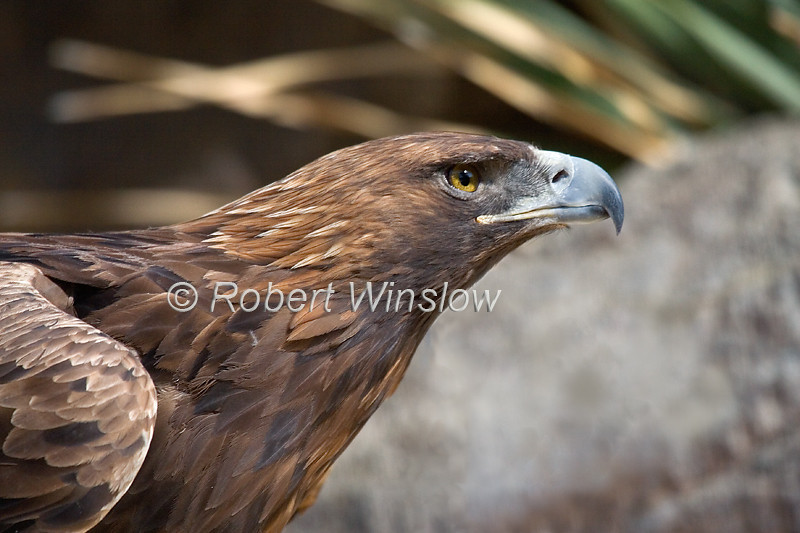 Golden Eagle, Aquila chrysaetos, Controlled Conditions