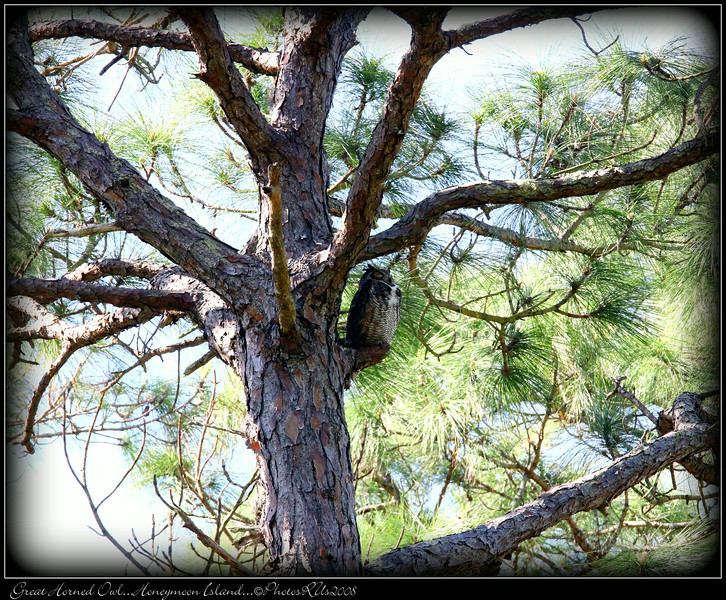 Great Horned Owl...Honeymoon Island...©PhotosRUs2008