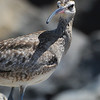 Whimbrel (Numenius phaeopus)