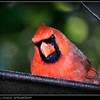 Northern Cardinal...©PhotosRUs2008