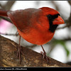 Jan.20,2013...Northern Cardinal...Clearwater,Fl....©PhotosRUs2008