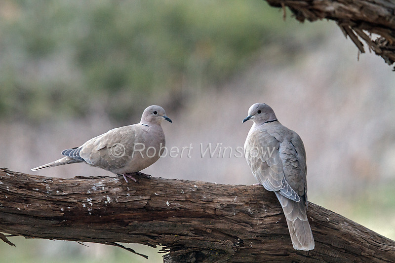 Two Eurasian Collared Dove, Streptopelia decaocto, La Plata County, Colorado, USA, North America