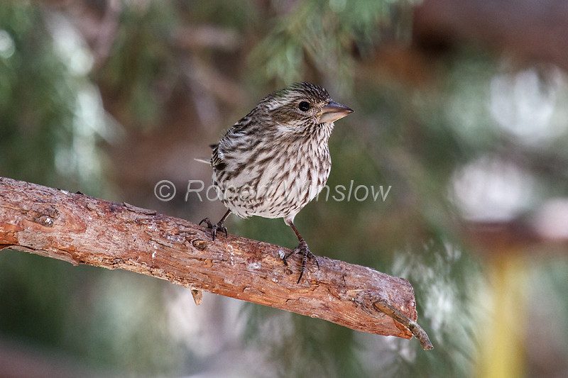 Cassin's Finch, Carpodacus cassinii, or Haemorhous cassinii, female,  La Plata County, Colorado, USA, North America