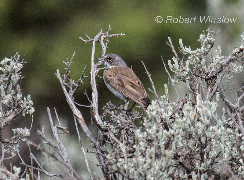 Sage Sparrow, aka Sagebrush Sparrow, Amphisiza belli, La Plata County, Colorado, USA, North America