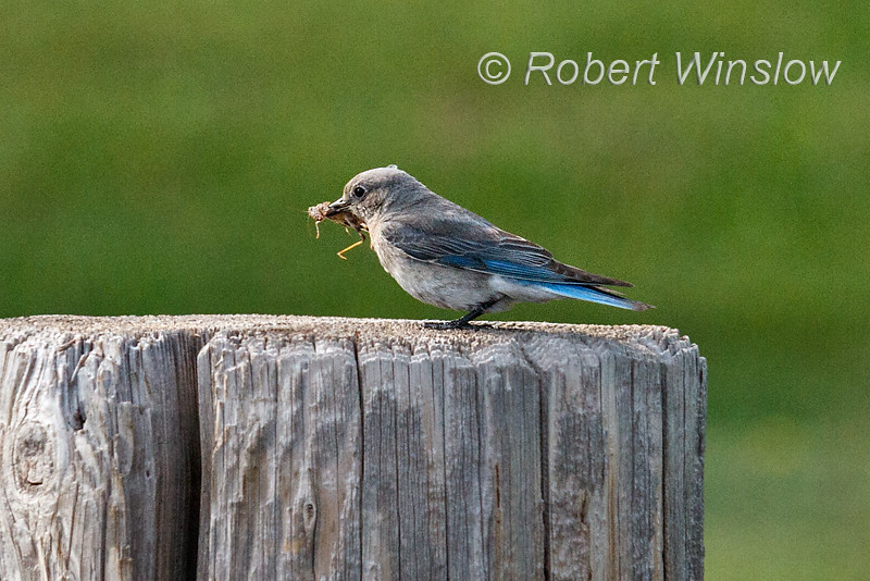 Female, Mountain Bluebird, Sialia currucoides, With a Grasshopper in its Bill,  La Plata County, Colorado, USA, North America