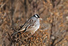 White-crowned Sparrow, Zonotrichia leucophrys,  Bosque del Apache National Wildlife Refuge, New Mexico, USA, North America